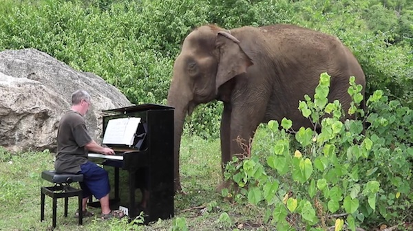 The world's largest land animal soothed by Debussy