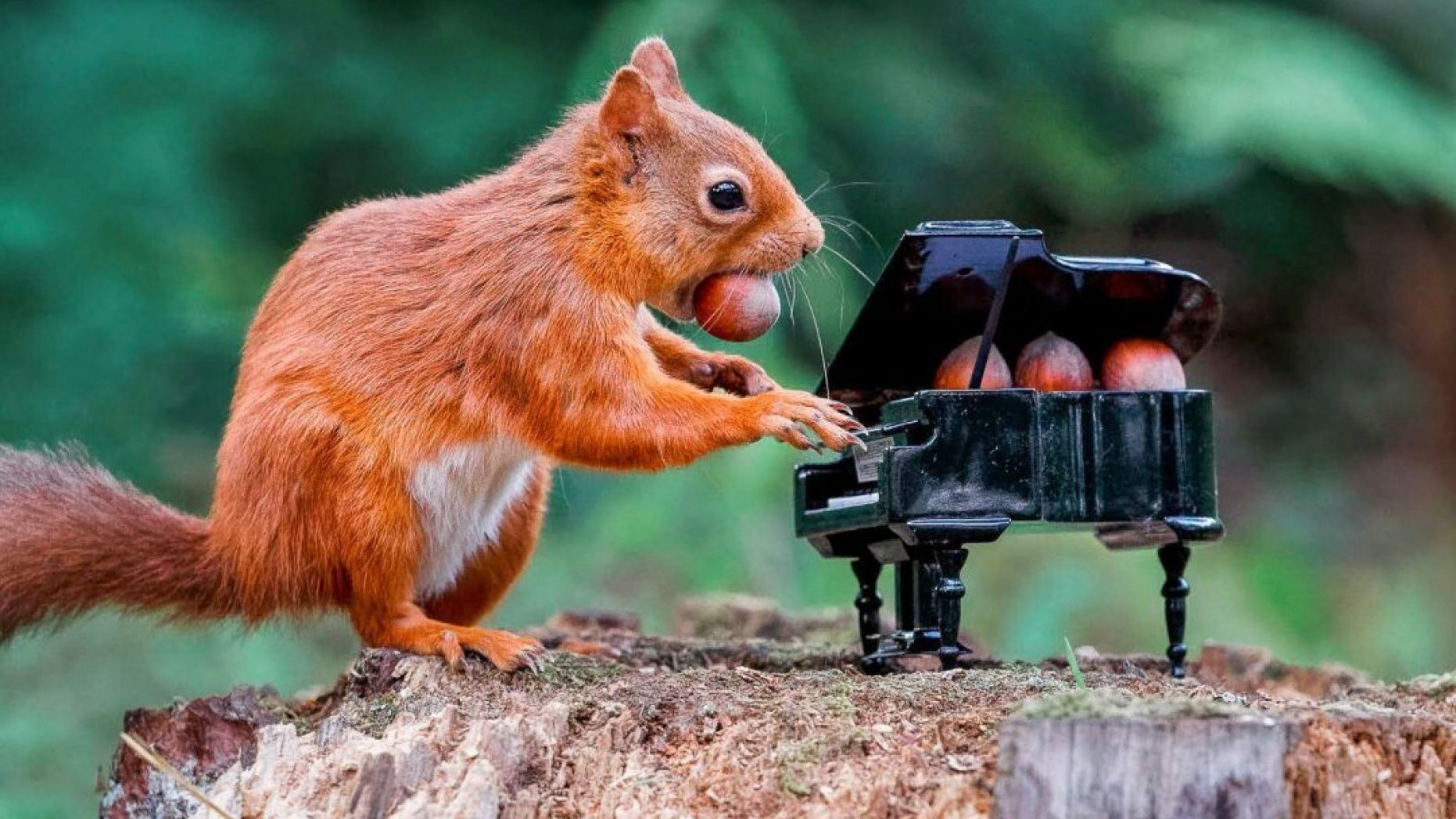 Squirrel playing piano